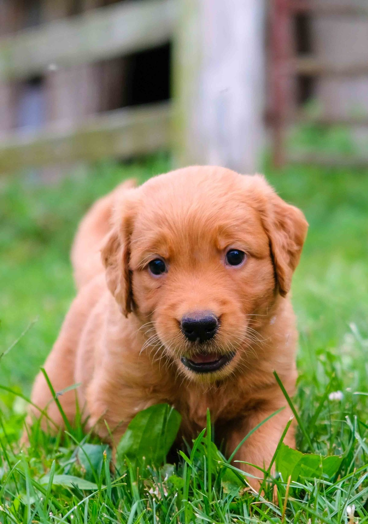 Fox Red Labrador Retriever Puppies for Sale | Greenfield
