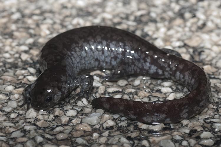 Buckeye Herps  Ohio Frogs Toads and Salamanders  A