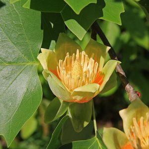 Tulip poplar. Photo courtesy of Jane Shelby Richardson through Wikipedia Commons.