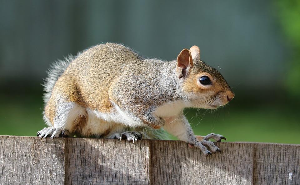 squirrel removal animal control