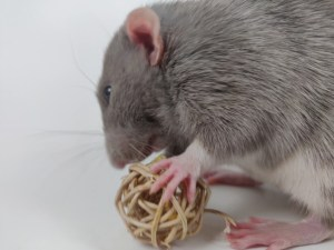 Ash is one of our favorite breeders here at Buckingham Blue Rattery!