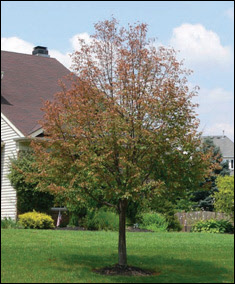 Japanese Beetle Tree Damage After
