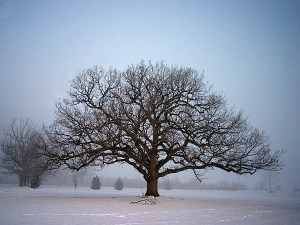 Consultation Winter Oak Tree Photo