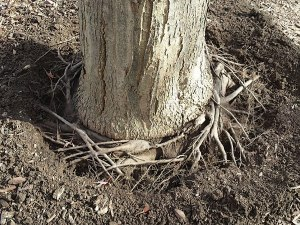 Autumn Blaze Maple Stem Girdling Roots