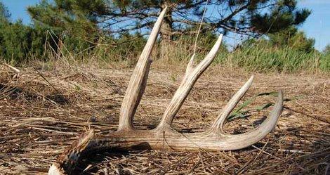 Time to hunt for deer sheds