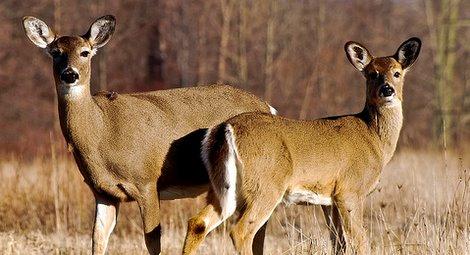 Image result for does deer