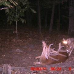 Brown Bear Diagram 2000 Cadillac Deville Radio Wiring Coyotes Kill Buck - Caught On Game Camera Photos