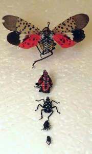 Spotted Lantern Fly Stages of Life