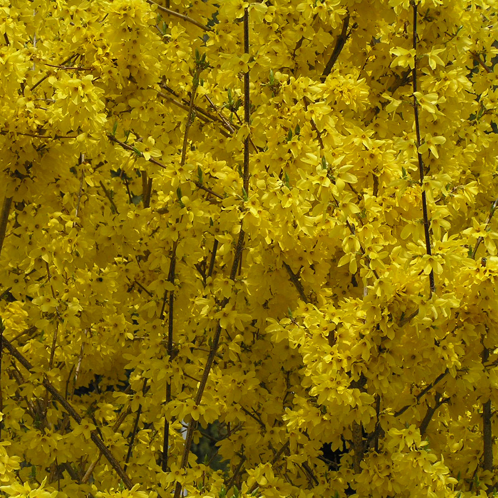 Forsythia flower 1r