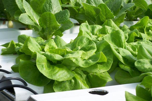 Butterhead lettuce; photo by Lynne Goldman