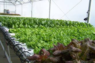 More salad greens growing