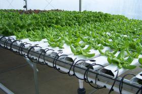 Salad greens growing; photo by Lynne Goldman