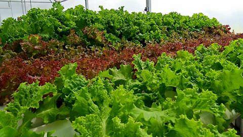 Maximuck's lettuce; photo by Lynne Goldman