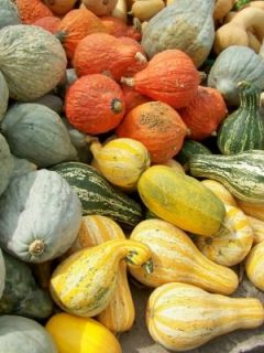 Gourds at Trauger's Farm