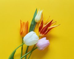 Tulips; MSClipArt