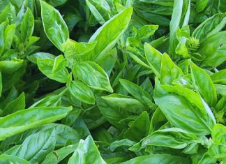 Basil_700x339_photo credit Lynne Goldman