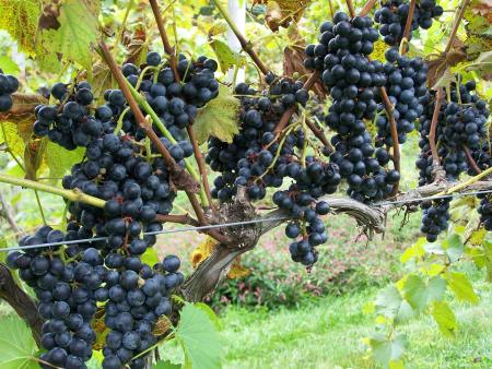 Grapes at Crossing Vineyards; photo by L. Goldman