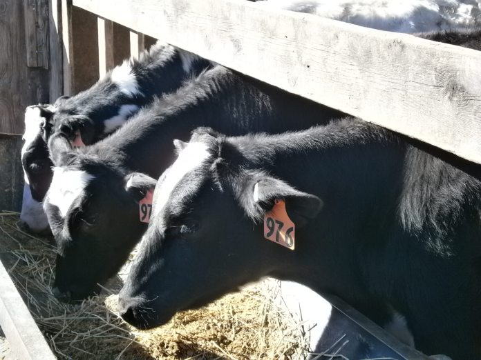Fulper Farm cows; photo credit Lynne Goldman