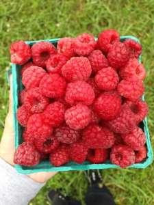 Raspberries_Penn Vermont