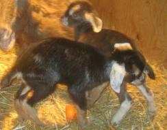 Flint Hill baby goats