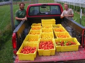 Tomato Harvest at Blooming Glen Farm; photo courtesy of Blooming Glen Farm