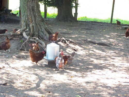 Chickens at Milk House Farm