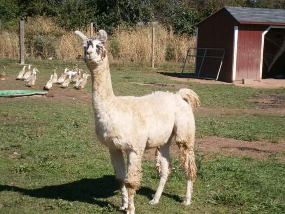 Llama at Milk House Farm