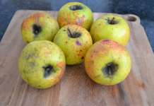 Gold Rush apples; photo by K. Madey