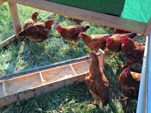 Hershberger_in the chicken tractor_photo credit Lynne Goldman