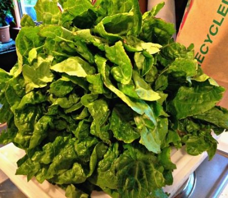 romaine lettuce_Amberland Farm_Organnons_June 11 2015