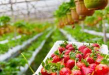 Strawberry, Pixabay