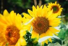 Sunflower, Papver rhoeas, unsplash