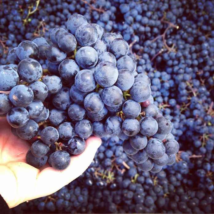 Wine grapes, Unionville Vineyards