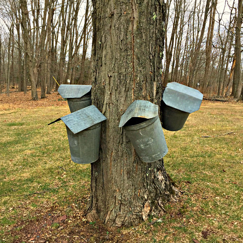 Tin buckets on maple trees_Winfield Farm_Tinicum_Bucks County maple syrup