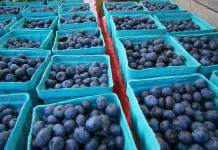 Blueberries at Shady Brook Farm