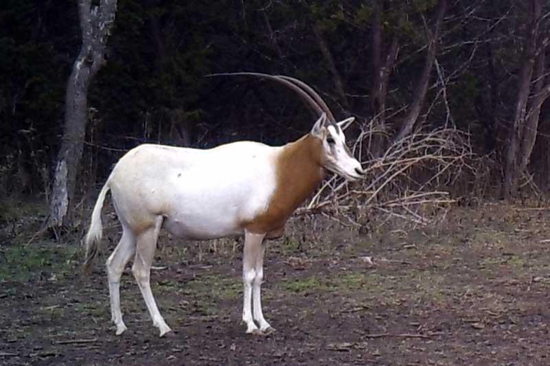 Scimitar Horned Oryx Hunting in Texas