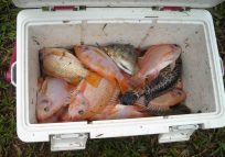 Tilapia in Cooler