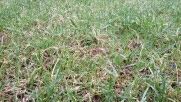 Close up of new grass growing in the existing turf stand after a core aeration and overseed