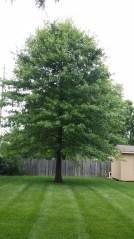 Oak tree 4 months after iron treatment