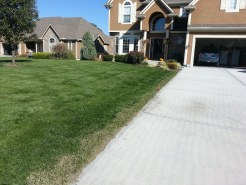 New grass seed from lawn repair due to driveway replacement.