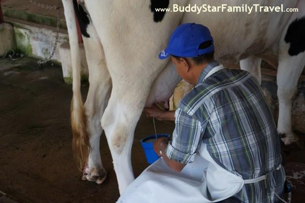 รีดนมวัว,ฟาร์มโคนม,เที่ยว,เขาใหญ่,เด็ก,ที่เที่ยว