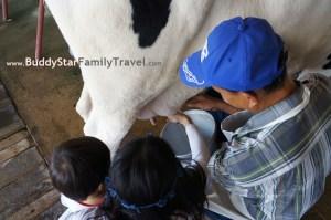 รีดนมวัว,เด็ก,ฟาร์มโคนม,ที่เที่ยว,เขาใหญ่,พาลูกเที่ยว,