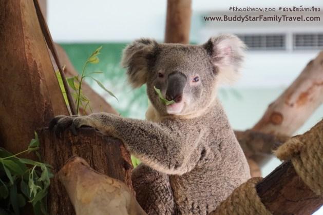 หมีโคอาล่า, ใกล้ชิดโคอาล่า, สวนสัตว์เขาเขียว, เขาเขียว, เด็ก, รีวิว