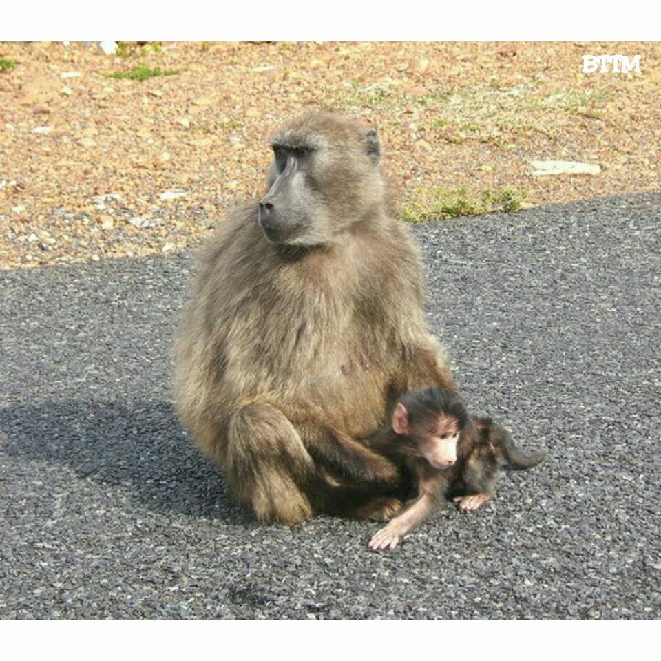 Momma and baby baboon in South Africa