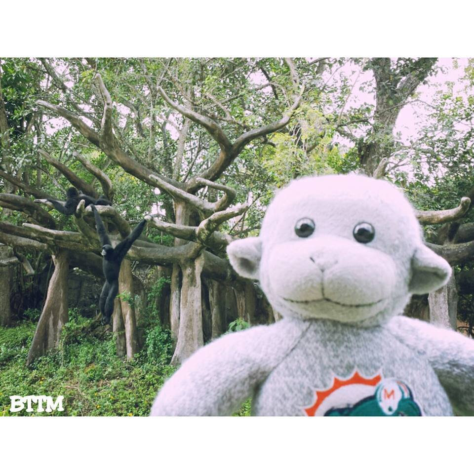 Siamangs at Zoo Miami