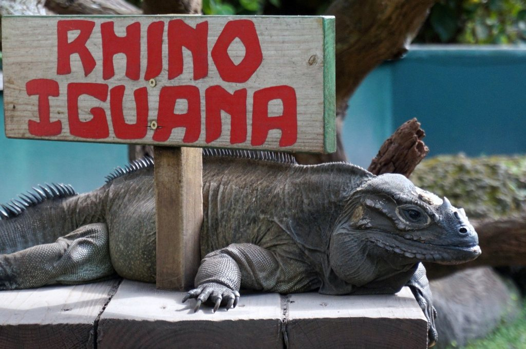 Rhino Iguana at Monkey Jungle