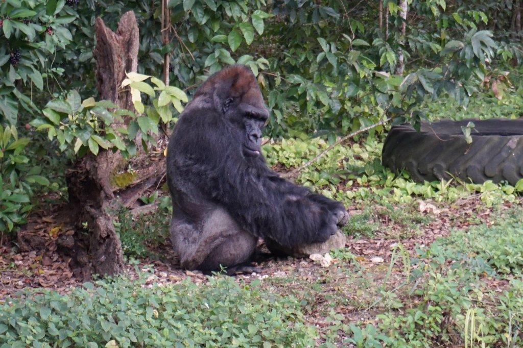 King, a Western Lowland Gorilla at Monkey Jungle