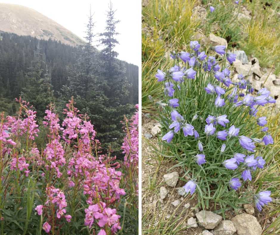 Flowers near Grays Peak Colorado