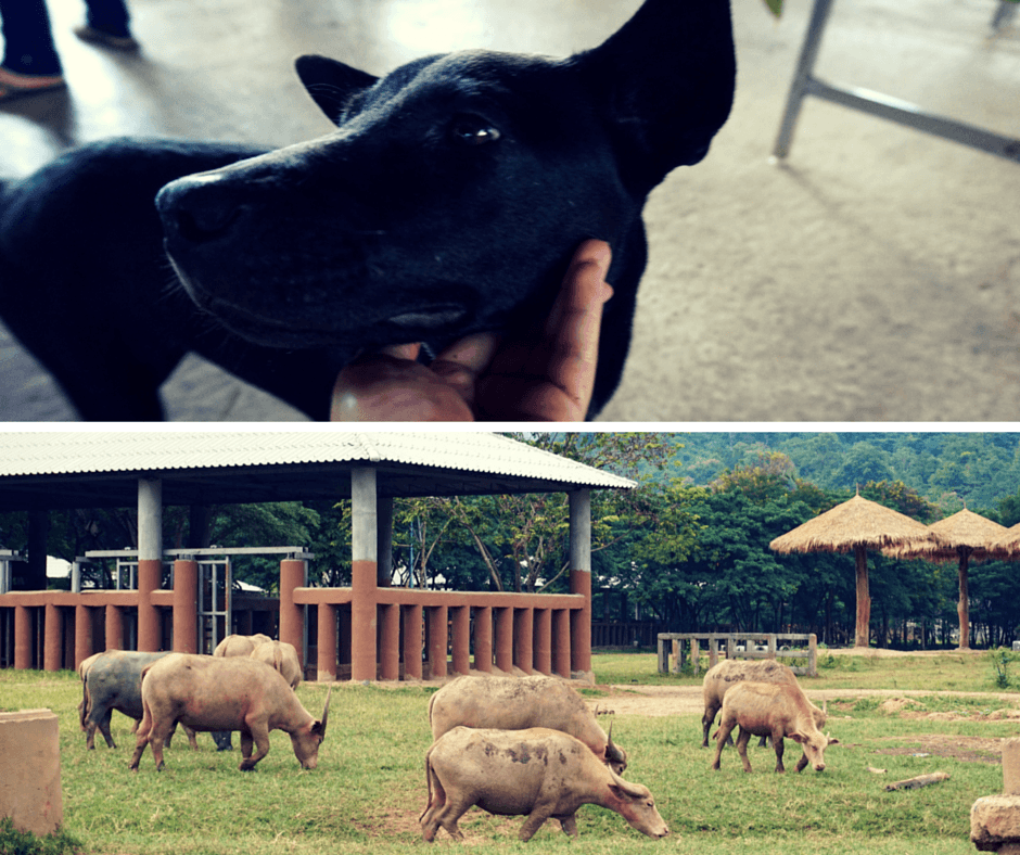a dog and water buffalo at Elephant Nature Park
