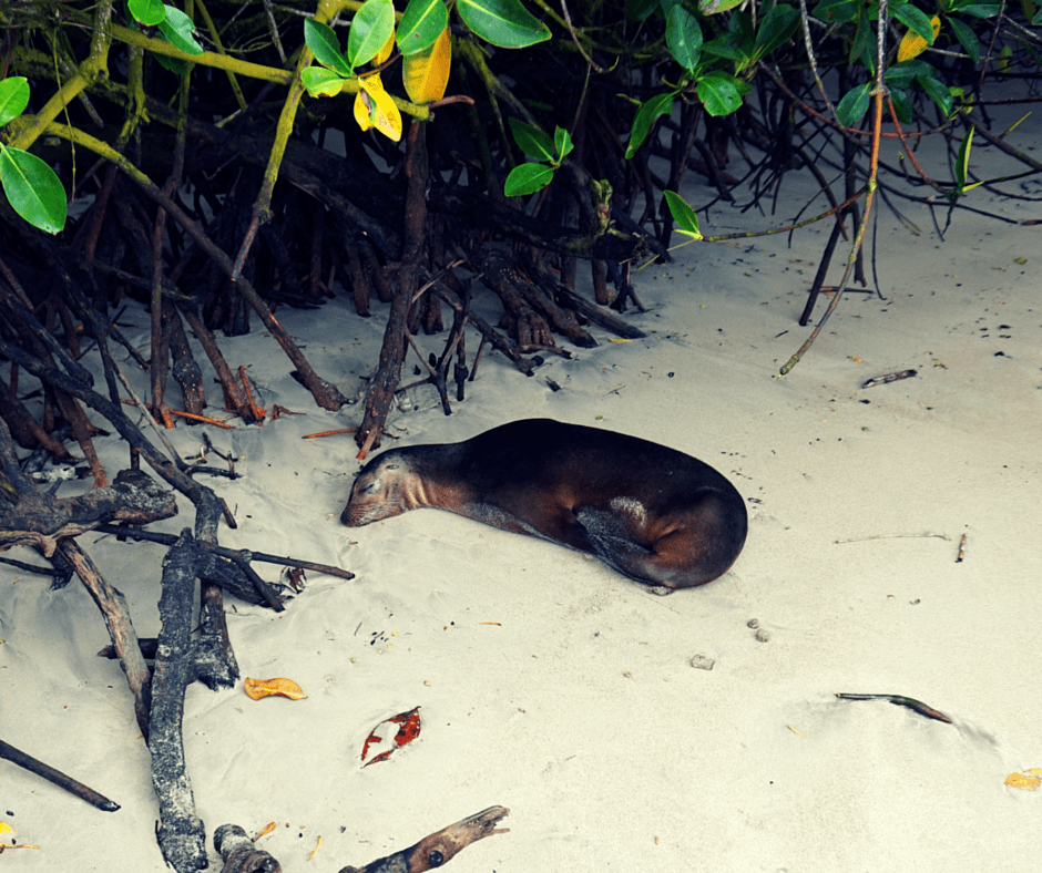 Sea Lion sleeping by the water in the Galapagos